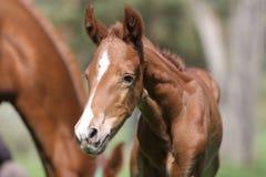 Close-upfoto van a op veulen van dag het oude pasgeboren gidran bij landelijk dierlijk landbouwbedrijf royalty-vrije stock foto