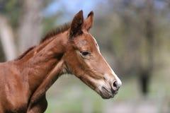 Close-upfoto van a op veulen van dag het oude pasgeboren gidran bij landelijk dierlijk landbouwbedrijf stock afbeelding