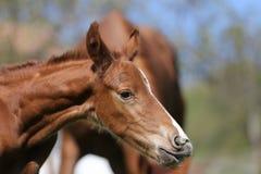 Close-upfoto van a op veulen van dag het oude pasgeboren gidran bij landelijk dierlijk landbouwbedrijf royalty-vrije stock afbeelding