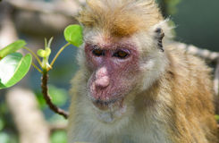 Close-upfoto van oude aap met rood gezicht. Stock Afbeeldingen