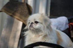 Close-upfoto van witte Pekineeshond Royalty-vrije Stock Fotografie