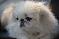 Close-upfoto van witte Pekineeshond Royalty-vrije Stock Afbeeldingen