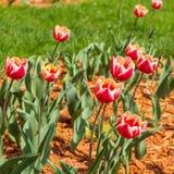 Close-upgebied van rode en oranje tulpen royalty-vrije stock foto's