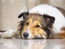 Close-upgezicht die van leuke herdershond op vloer liggen stock fotografie