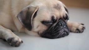 Close-upgezicht van Leuke pug hond stock video