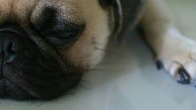 Close-upgezicht van Leuke pug hond stock videobeelden