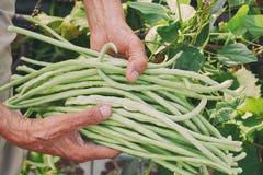 Close-uphand gehouden lange bonen in de tuin royalty-vrije stock foto's