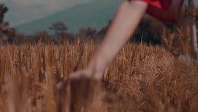 Close-uphand wat betreft gras in padievelden stock footage
