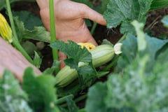 Close-uphanden van mannelijke landbouwer die het groeien jonge pompoen controleren Royalty-vrije Stock Afbeelding