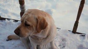 Close-uphond die de Camera in de Winter op de Huisportiek bekijken stock footage