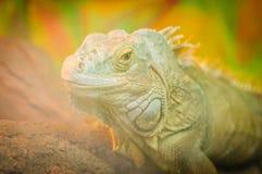Close-uphoofd die Reptiel, groene leguaan achter glas in terrarium glimlachen Royalty-vrije Stock Fotografie