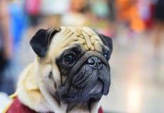 Close-uphoofd van leuke pug Royalty-vrije Stock Fotografie