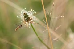 Close UpHoverfly Hovering Near Plant. A close up shot of a hoverfly hovering near a plant Royalty Free Stock Images