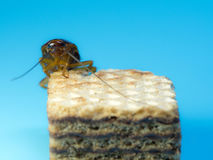 Close-upkakkerlak op het chocoladewafeltje, de blauwe achtergrond De kakkerlakken zijn dragers van de ziekte Stock Fotografie