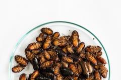 Close-upkakkerlak voor studie die parasieten in laboratorium vinden stock fotografie