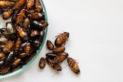 Close-upkakkerlak voor studie die parasieten in laboratorium vinden stock afbeelding
