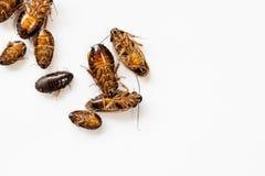 Close-upkakkerlak voor studie die parasieten in laboratorium vinden royalty-vrije stock foto's