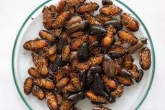 Close-upkakkerlak voor studie die parasieten in laboratorium vinden royalty-vrije stock afbeeldingen