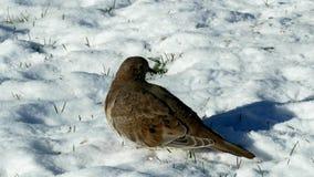 Close-upklem van Amerikaanse het rouwen duiven, zenaidamacroura of regenduif, op sneeuw stock videobeelden