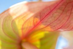 Close-uplieveheersbeestje die op verse anthuriumbloem kruipen met vage achtergrond Gebeurtenisdecoratie met verse bloemen stock foto's