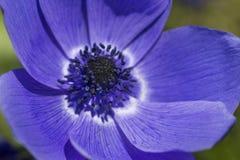Close-upmacro van Blauwe Anemone Located in Nationaal Nederlands Keukenhof-Park wordt geschoten dat royalty-vrije stock afbeelding