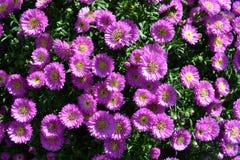 Close-upmening aan mooie geselecteerde violette madeliefjebloemen stock foto's