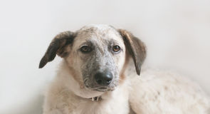 Close-upmening die van puppy zwart-witte helft-bloed hond liggen Stock Afbeeldingen