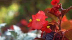 Close-upmening die van rode heldere bloemen op het bloembed groeien op een zonnige dag Voorraadlengte Mooi bloembed in stock video