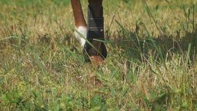 Close-upmening over de hoeven van de benen van het paard bij een gebied macht stock video