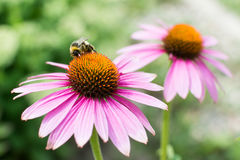 Close-upmening over honingbij die purpere bloem verzamelen Royalty-vrije Stock Foto