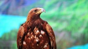 Close-upmening van adelaar, Mongolië stock footage