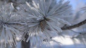 Close-upmening van bevroren denneappel op boom stock videobeelden