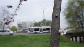 Close-upmening van bloeiende bloemboom stock videobeelden