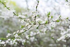 Close-upmening van de bloesems van de kersentak met heldere witte bloemen Stock Foto