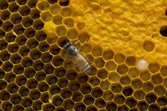 Close-upmening van de het werk bijen op honingraat, Honingscellen patte Royalty-vrije Stock Fotografie