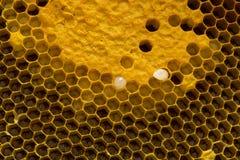 Close-upmening van de het werk bijen op honingraat, Honingscellen patte Stock Afbeeldingen