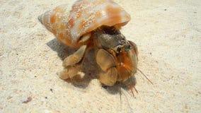 Close-upmening van de kluizenaarkrab die snel op het zandige strand kruipen stock videobeelden
