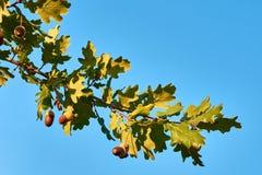 Close-upmening van drie eikels op eiken boom tussen groen blad, de V.N. royalty-vrije stock afbeeldingen