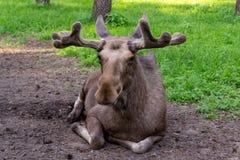 Close-upmening van een grote eland stock afbeelding