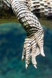 Close-upmening van een poot met crocodilus van de klauwenkaaiman stock foto's