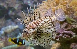 Close-upmening van een Rode Lionfish royalty-vrije stock afbeelding
