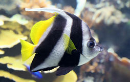 Close-upmening van een Wimpel coralfish Royalty-vrije Stock Afbeelding