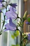Close-upmening van het bloeien klokjepersicifolia Mooie violette bloemen stock foto