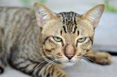 Close-upmening van het oog van de kat (Selectieve nadruk - Dierlijke minnaarachtergrond) Royalty-vrije Stock Afbeelding