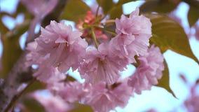 Close-upmening van het tot bloei komen sakura met bloemblaadjes die in de wind slingeren stock videobeelden