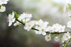 Close-upmening van kersenbloesems Stock Afbeelding