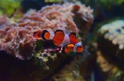 Close-upmening van kleine Clownvissen met verschillende koralen op de achtergrond royalty-vrije stock foto's