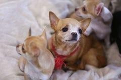 Close-upmening van leuke grappige chihuahuas Stock Afbeelding