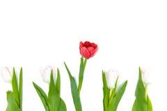 Close-upmening van mooie bloeiende rode en lichtrose tulpen Royalty-vrije Stock Afbeeldingen