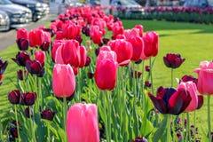 Close-upmening van mooie roze en donkerrode tulpen op groen gras bij Nyon-stadsbloembed langs weg bij de heldere dag van de de le stock foto